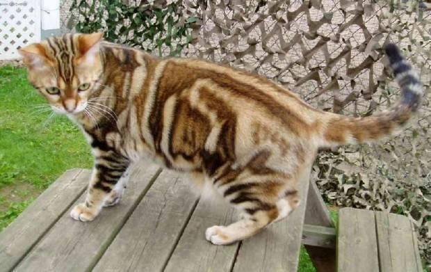 gato american