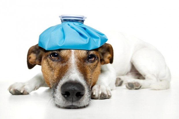cão com febre
