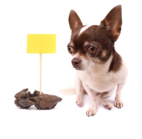 cão com incontinência