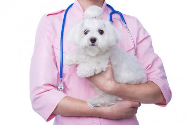 cão com traqueobronquite