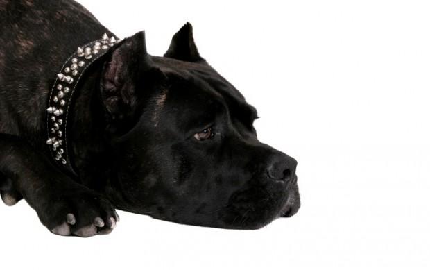 cão que sofreu maus tratos