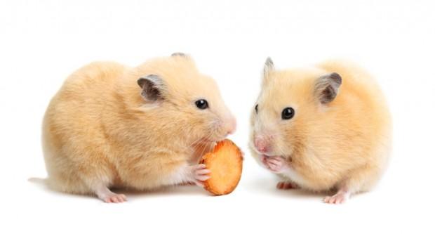 casal de hamsters