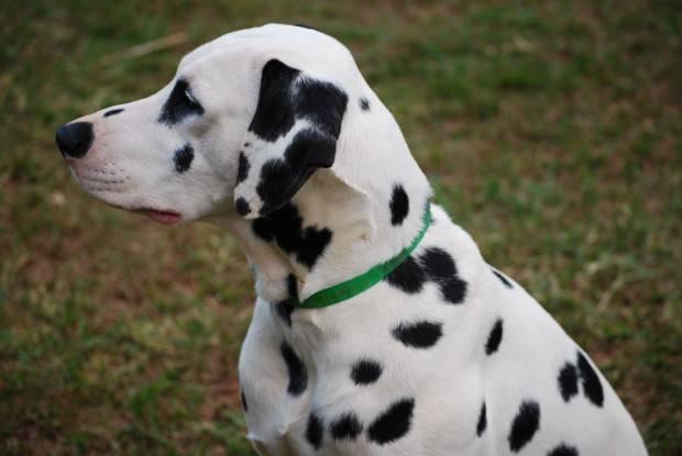 Dalmata Tudo Sobre A Ra 231 A De Cachorro Dalmata