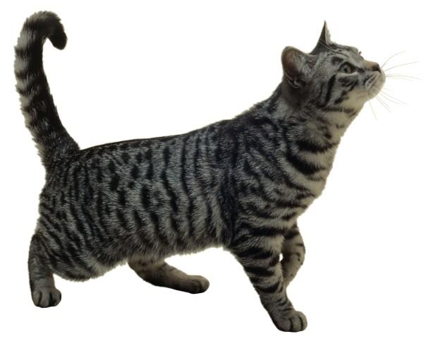 gato american short hair
