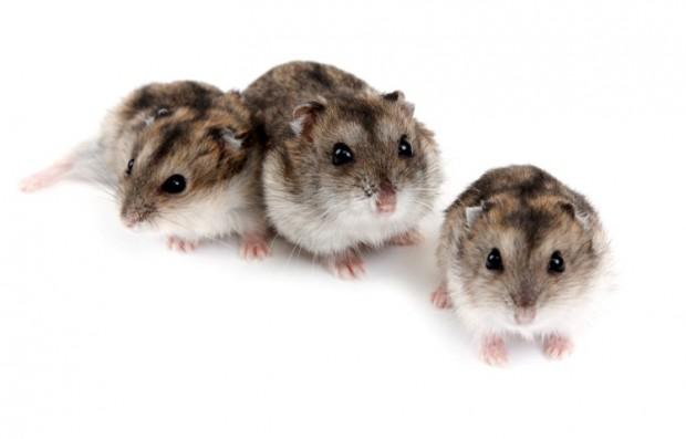 hamster e filhotes
