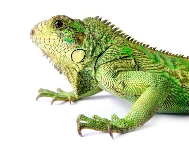 iguana domesticada
