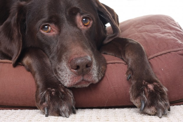 insuficiência renal canina