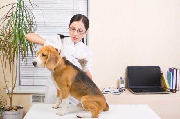 insulina em cães