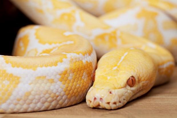 Lavender Albino Python